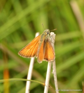 Large Skipper Moth