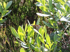 Large Heath Butterfly on Bog Myrtle