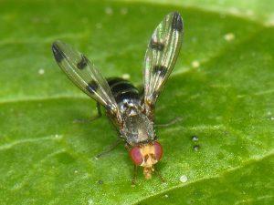 Three-spot Geomyza