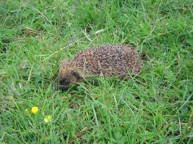 Hedgehog near Alder Pond